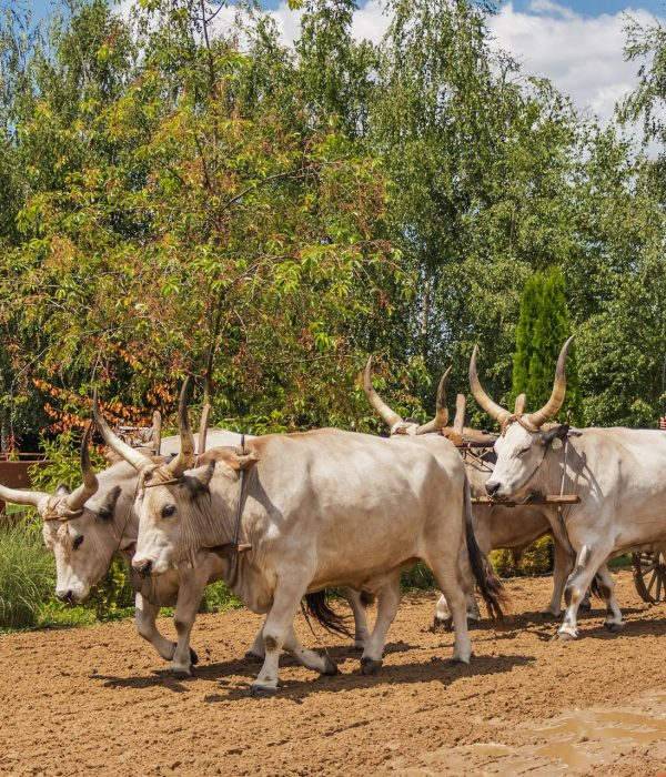 Puszta Tour Hungarian Grey Cattle