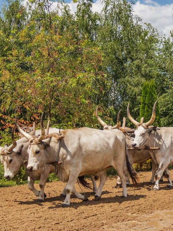 Puszta Tour Hungarian Grey Cattle